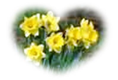 Daffodiles1